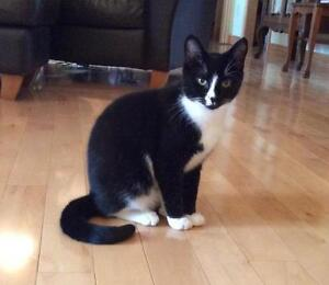 "Young Male Cat - Tuxedo: ""Domino"""