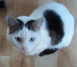 "Adult Female Cat - Domestic Short Hair: ""Tbelle"""