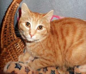 "Baby Female Cat - Domestic Short Hair-Tabby: ""Sunny"""