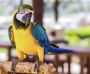 Looking for male Blue & Gold Macaw