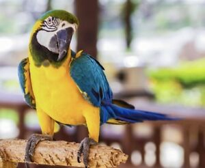 Male Blue & Gold Macaw