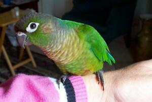 ❤️⭐❤️Conures⭐Available with Cage❤️⭐❤️