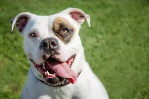 Can you offer Paula, the American Bulldog a forever home? Midland Swan Area Preview