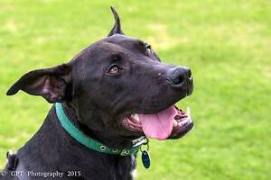 Loyal Zeus seeking a loving new home Midland Swan Area Preview