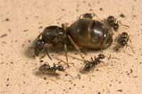 Fourmis Reine a vendre / Ant queens for sell