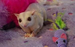 suger gliders