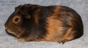 Male Guinea Pig (Satin Carrier and Rare Colour)