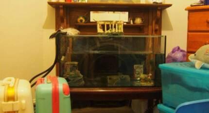 Adult leucistic axolotl w/ 3ft tank, filter, large ornaments Sydney City Inner Sydney Preview