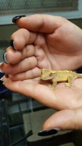 Young Crested Geckos