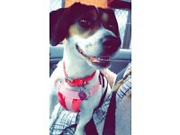 Beautiful Jack Russel X Beagle - 6 years old, needs a loving forever home.