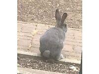 Stunning grey, blue eyed baby rabbit