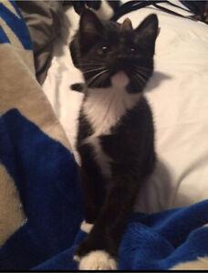 Munchkin Polydactyl Male Kitten