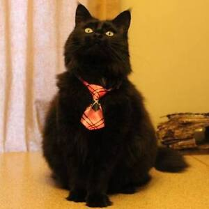 Long haired10 yr old female  Spayed and Front Paws declawed