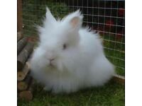 VERY CUTE LIONHEADS FOR SALE!!