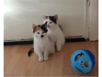 Adorable well trained kittens for sale 2 males/2 females