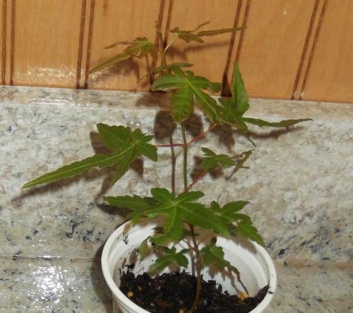 Japanese Maple Seedlings | eBay - photo#8