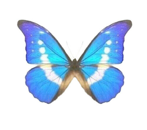 ONE REAL BUTTERFLY BLUE WHITE MORPHO RHETENOR HELENA UNMOUNTED WINGS CLOSED