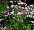 Full Sun Chive Herb Seeds