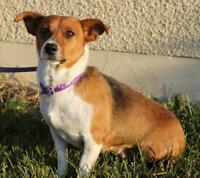 """Adult Female Dog - Jack Russell Terrier-Beagle: """"Lady"""""""