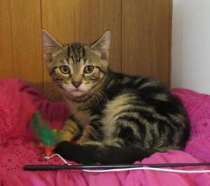 "Baby Male Cat - Domestic Short Hair - brown-Tabby: ""WALTER"""