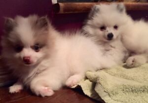 GORGEOUS WHITE AND MERLE POMERANIAN BABIES