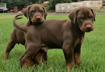 Gumtree Perth Pets Dogs Puppies