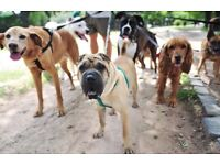 Dog Walking Service Available - Covering Enfield and Parts of North London
