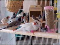 4 pairs of zebra finches, must go together