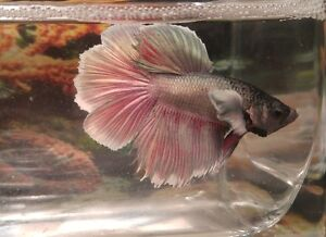 Adopt or rehome pets in north shore pets kijiji for Elephant betta fish