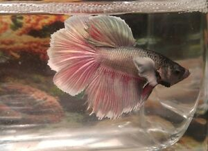 Dumbo Ear/Elephant Ear Betta Fish London Ontario image 5