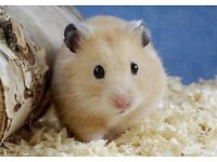 Syrian hamster with cage x2 relisted