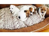 8-week-old Jack Russell Pups - Ready for Collection