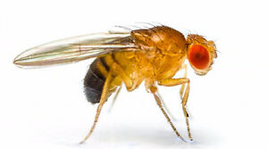 Fruit Fly Cultures