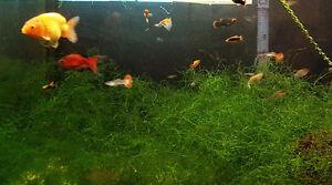 Aquarium plants java moss - Mousse de java.