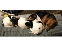 Jack Russell boy puppy's for sale
