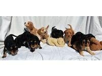 Cockapoo puppy for sale F1 Health Checked Vaccinated Cockerpoo puppies Wales cream tan black PRA