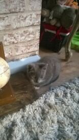 10 week old 1 grey female kitten with Bengal markings 1 black male with Bengal markings