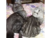 WHISKAS Silver Tabby British Shorthair Kittens