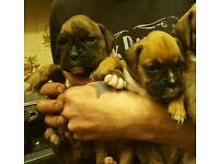Boxers puppies