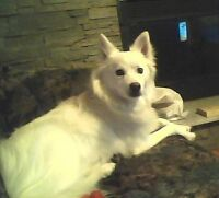 LOST AMERICAN ESKIMO 4 YEARS AGO