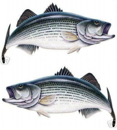 Striped drum fish you