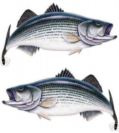 All striped drum fish mine