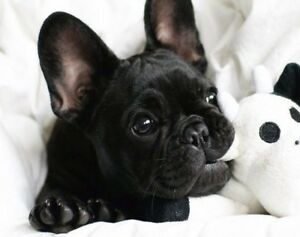 We are looking for a French Bulldog