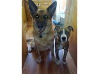 HOME DOG BOARDING NO KENNELS!!! PET SITTER ALSO SMALL PET CARE AND DOG WALKING