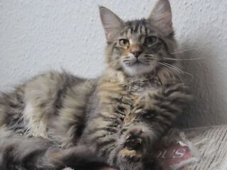 Maine coon kittens for sale London Picture 1 Enlarge picture