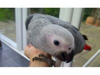 Hand reared Fully Tame Baby African Congo Grey Talking Parrot