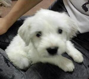"Baby Female Dog - Maltese: ""Maggie"""