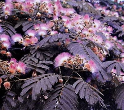 5 Summer Chocolate Mimosa Tree Seeds Silk Tree Albizia julibrissin (Mimosa Tree)