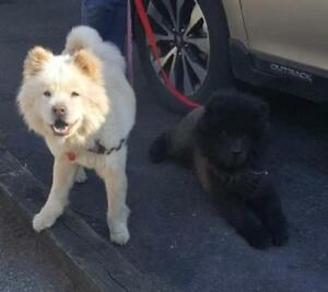 "Young Female Dog - Chow Chow: ""Jack & Jill"""