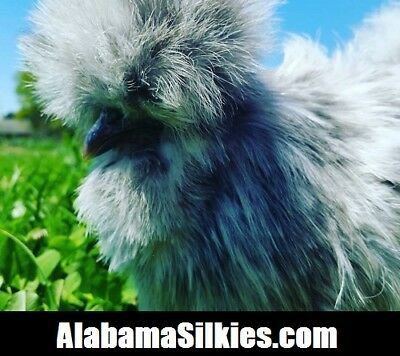24 Silkie Chicken Hatching Eggs - Npip- Show Quality Silkie Silkie Silkie